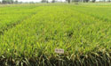 Hybrid Rice at Zeeshan Farm