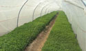 Tunnel Farming at Zeeshan Farm